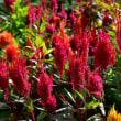 福岡市植物園からケイトウ(D810,28-300mm)