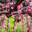 薩摩川内市の十島さん宅の枝垂れ梅を見に行ってみました。