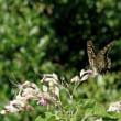 キアゲハチョウの吸蜜のための飛翔は!