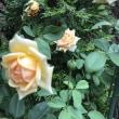 酷暑の薔薇 その2