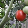 真っ赤な私のトマト