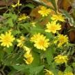 ヤクシソウの花がたくさん