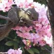 江の島にも河津桜