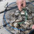 木ケ津の牡蠣