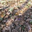 県庁の森の雪割草