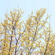 山茱萸と黄梅