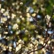 冬を彩る梅の花~とワンコ~(^^♪