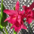 赤いカトレアの花が咲いた Ctt(Slc) Jewel Box 'Scheherazade'