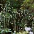 庭では秋明菊から野紺菊の季節に移行中        2017.10.22.