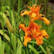 ヤブカンゾウの花が真夏日の野に輝いて