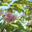 + 八重桜、懐に散る・・・ 和田アキコの守護霊対談  偏見の反省  芸能界の心得
