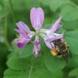 ミツバチとレンゲソウ♪