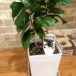 コーヒーの木とフランスゴムの木