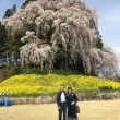 日本三大桜、三春滝桜へ…
