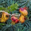少し毒々しい・・サンショウバラに近い中国の原種のバラの果実