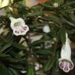 「おはようの花」 シシンラン(石弔蘭)