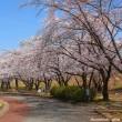 長野・川中島古戦場の桜でお花見を………!