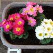 春の花苗を買ってきました