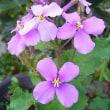 季節の花「花大根」