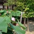 高田本山専修寺の蓮
