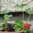 在来種の苺