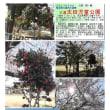 花巡り 「桜-その420」 久喜太田児童公園