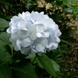 静寂   真珠のような 輝き 美人   ---- 三宝寺池