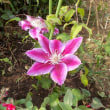 体幹リハビリ、頑張った報告をする予定ですが褒めてくれるかな。ローズガーデンで見つけたバラが庭に植えられてご機嫌な姿見てください。