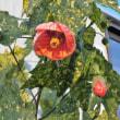 アブチロン Abutilon 斑入り葉
