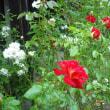 咲いてます。バラの希望とアイスバーグ