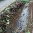 サツマイモ掘り。