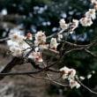 小石川後楽園の梅祭り・・3