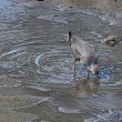 カニを食べるキアシシギ