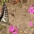 揚羽蝶は軽やかに 五態