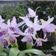 レリアンセ Lnt(旧Lc) Wigleyi 'Orchid library'