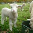 毎春、およそ300万頭の若い子羊が死んでおり、それは普通のことと考えられている《ウール製品を買う前に