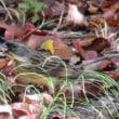 秋にツツジ開花。野鳥観察いかがでしょうか。