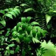 林際のアマドコロ