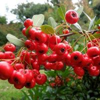 果実も彩って・殿ヶ谷戸庭園