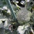 ブロッコリー栽培2017年秋、防風ネット設置、台風に耐え頂花蕾が成長