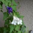 白い彼岸花咲きました