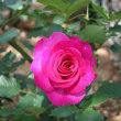 母の日に母を連れてバラを見に