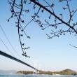 今治市の糸山公園の河津桜の開花はまだのようです