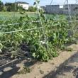 台風後の菜園