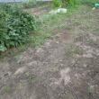 10/13(金) ホウレンソウ、種まきしたけど、長雨よ~ 丹波黒豆、本当の初収穫!(笑)
