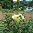 オクラの花と花オクラ