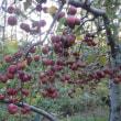 寒さで甘くなった果樹