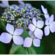 紫陽花  (4の3)  ★ 2018.06.24 ★