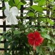 ハイビスカスがまだ咲いています。 (2017年9月23日撮影)
