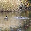 身近な水鳥 & 地球温暖化とパリ協定